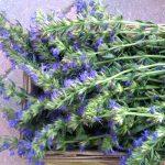 Svatojánské byliny, sběr a co s nimi v kuchyni