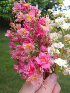 Kaštan květ